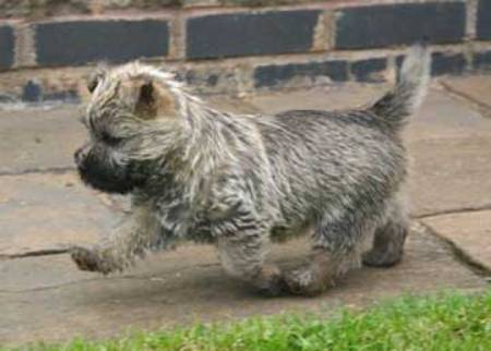 Cairngold Cairn Terriers